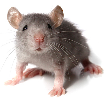 Davenport Pest Management | Mice Control