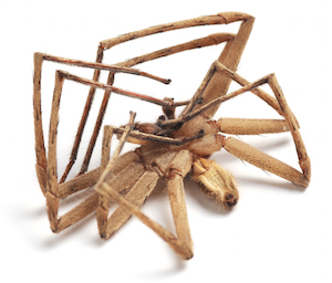 Davenport Pest Management | Spider Control | Brown Recluse Spiders